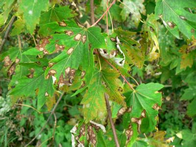 maple tree problems diagnosing and treating common problems of trees