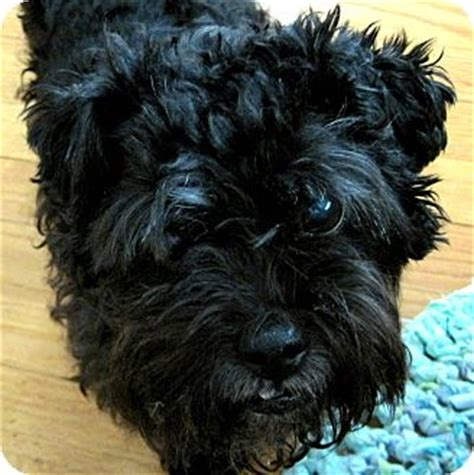 indiana adoption picture book affenpinscher puppies for adoption breeds picture