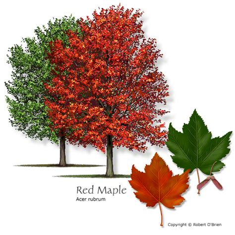 maple tree adaptations maple tree pictures russian