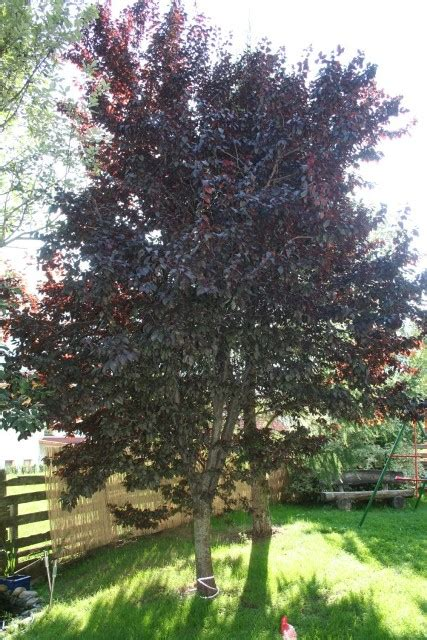 Baum Mit Roten Blättern 136 by Was F 252 R Ein Baum Ist Das Und Sind Seine Fr 252 Chte