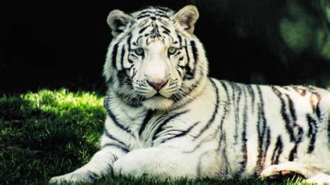when does zoo lights start white bengal tiger animal database fandom powered by wikia