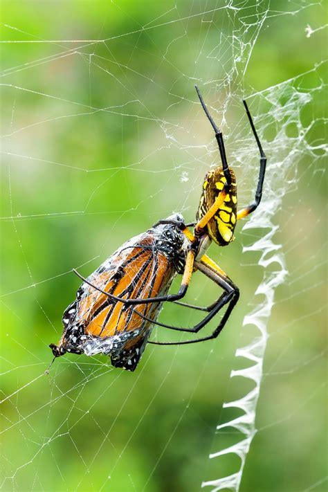 Garden Spider Prey Prey T Kahler Photography