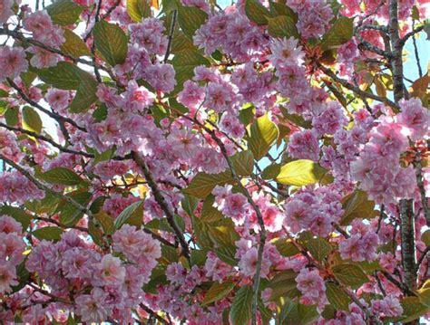 cherry tree wisnie w czekoladzie cherry tree the creative cafe
