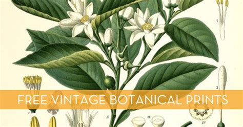 where to free free vintage botanical printables curbly