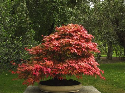 maple tree nursery make a japanese maple bonsai tree japanese maple bonsai maple bonsai and japanese maple