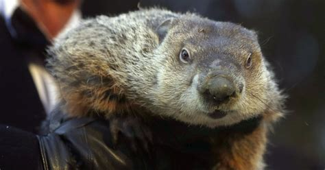 groundhog day moment meaning groundhog day 2017 celebration and its meanings