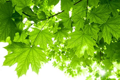 maple tree leaves stock photo image 41051350