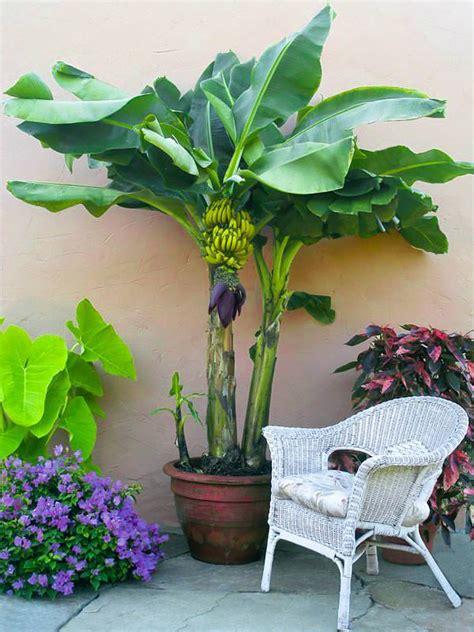 how to pot a tree how to grow banana trees growing banana trees in pots