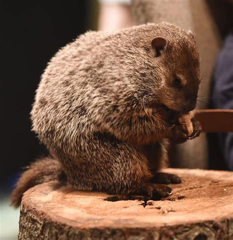 groundhog day 2016 zoo birmingham bill predicts 6 more weeks of winter