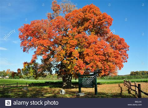 comfort sugar maple tree oldest canada 500 years pelham ontario stock photo royalty free image