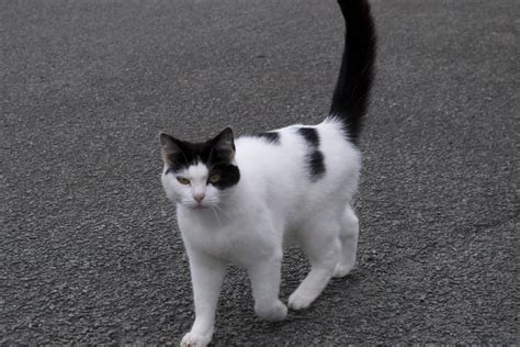 black and white cat cat breeds black and white cats types