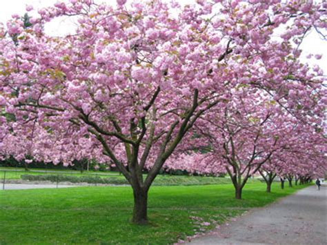 cherry tree vs cherry blossom tree which cherry tree an eye for detail