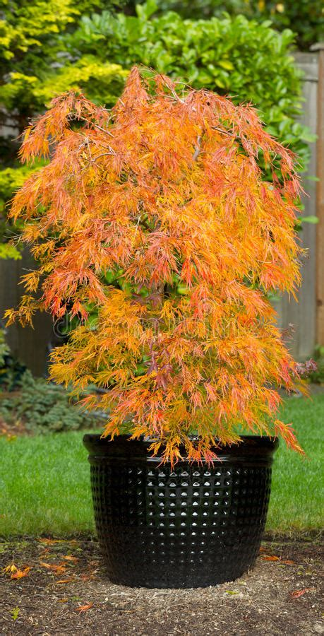 maple tree evergreen small japanese maple in pot during autumn season stock photo image of asian leaf 34691716