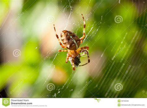Garden Spider Prey European Garden Spider With Prey Royalty Free Stock Image