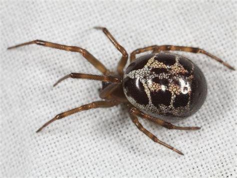 Garden Spider False Widow Steatoda Nobilis Noble False Widow Spider Spider Images