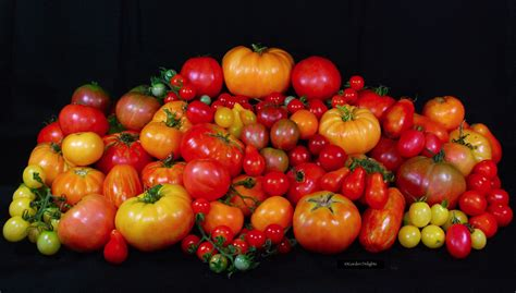heirloom rubber st show how to grow 184 varieties of heirloom tomatoes from seed