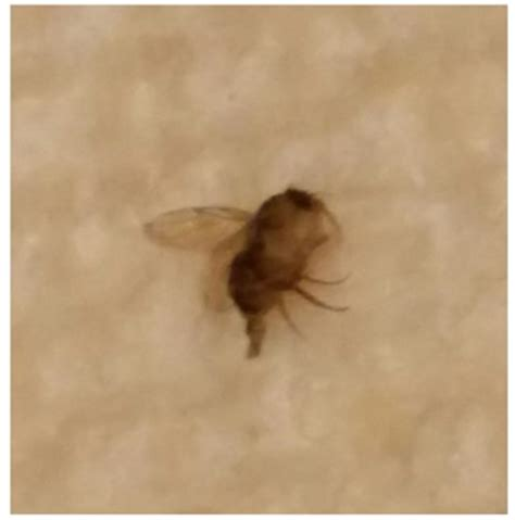 tiny flying insects in house what s this bug archives bugofff