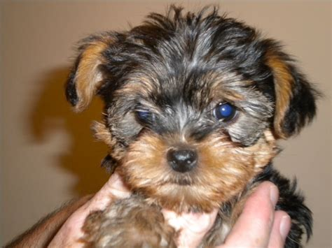 yorkshire terrier sale yorkshire terrier puppies for sale sutton coldfield