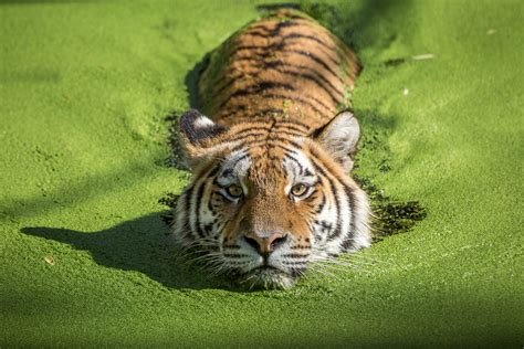 of tiger tiger takes a dip in algae covered water