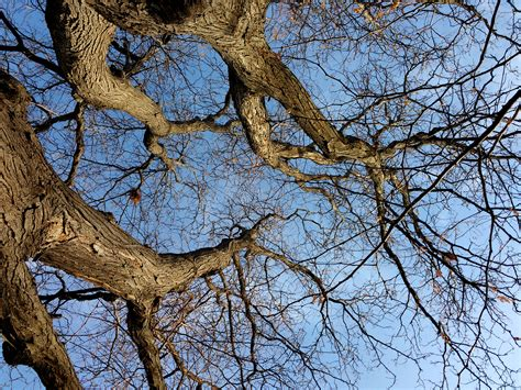 winter trees winter tree branches from below picture free photograph
