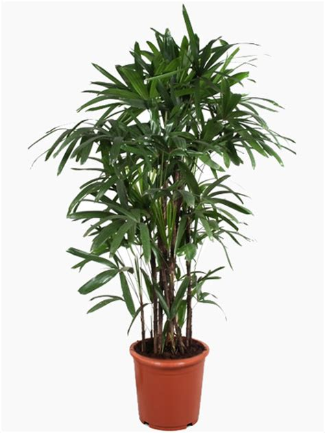 indoor palm indoor palms for sale uk