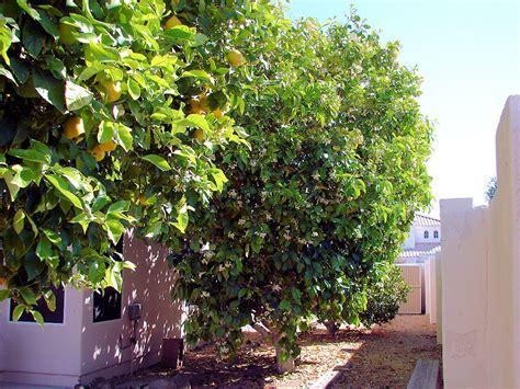 tree c grapefruit trees citrus 215 paradisi or c paradisi