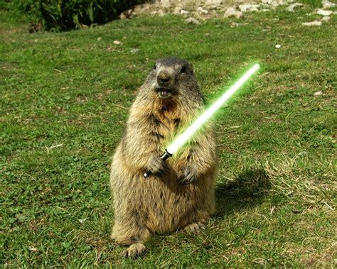 groundhog day hd lightsaber humor sword grass woodchuck animals