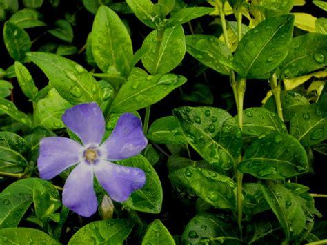 pflanze immergrün winterhart blühend vinca minor kleinbl 228 ttriges singr 252 n immergr 252 n pflanzen