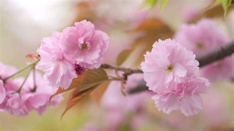 light flowers light pink flower wallpaper