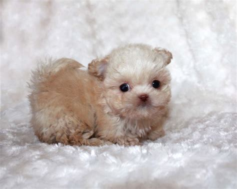 micro for sale teacup maltipoos maltipoo puppies for sale poodle mix