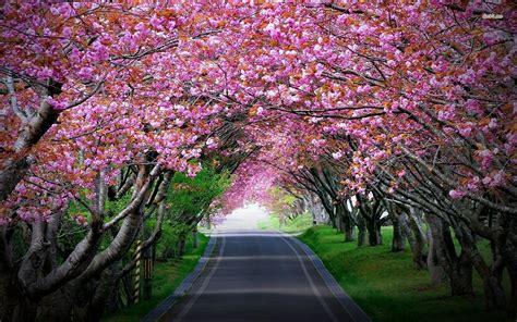 desk top tree cherry blossom tree anime wallpaper