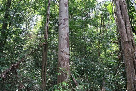chagne trees tallest trees could die of thirst in rainforest droughts