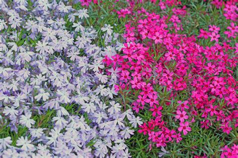 pflanze immergrün winterhart blühend winterharte pflanzen als rasenersatz 187 welche eignen sich