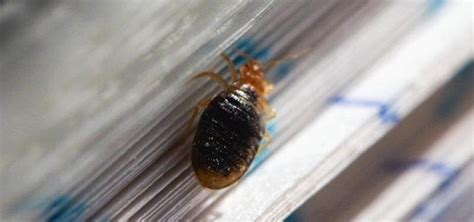 book mites pictures are there bedbugs in your library books here s how to