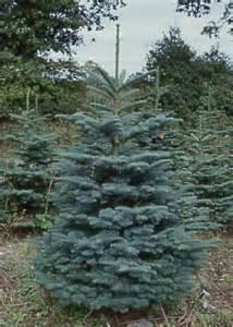 edeltanne weihnachtsbaum weihnachtsbaum arten weihnachtsbaum vergleich