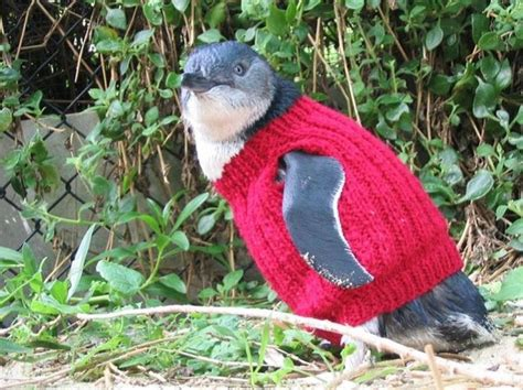 knitted jumpers australia australia s oldest knits sweaters for injured penguins