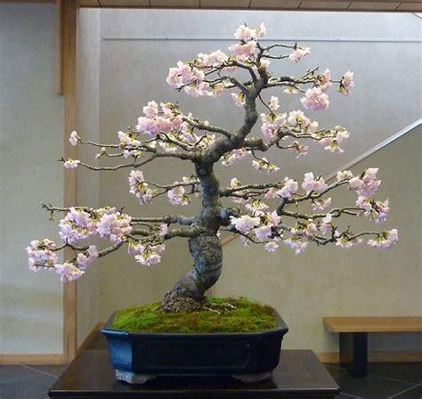 a cherry tree bonsai cherry blossom bonsai bonsai empire