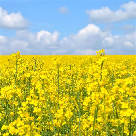 yellow garden flower flower garden fields in yellow 2048 x 2048