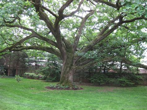 tree in brazil national tree of brazil brazilwood 123countries