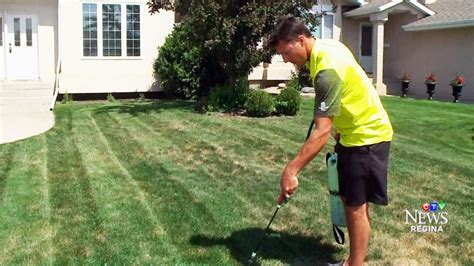 spray painting your lawn sask company uses spray paint to keep water starved lawns