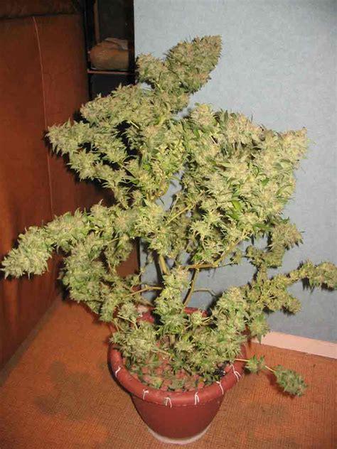 peace cannabis dans tout ses 233 tats