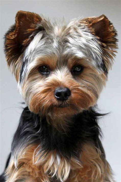 how to cut yorkie hair at home yorkie puppy cut what is a puppy cut yorkiemag
