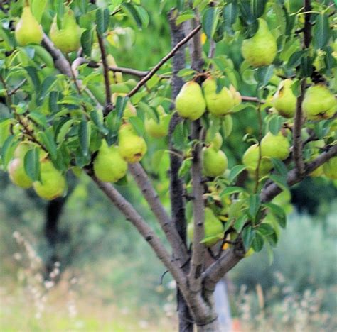 pear tree danny partridge in a pear tree