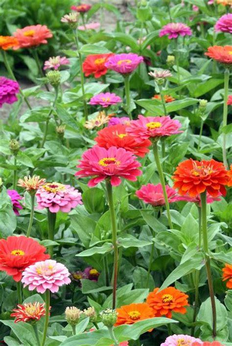 zinnia flower garden zinnias flower garden gardensdecor