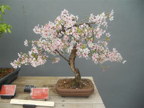 a cherry tree bonsai the bonsai begins prolific pages