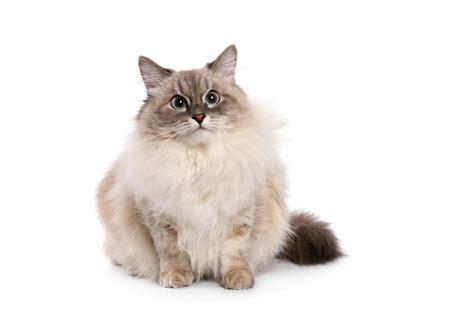 of a cat neva masquerade cats breed information omlet