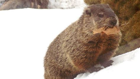 groundhog day location caa news caa the history and traditions of groundhog