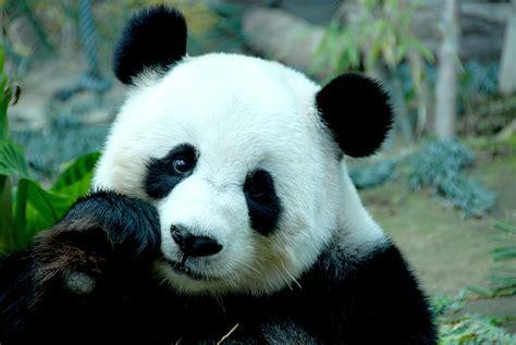 panda china volunteer with pandas in china intelligent travel