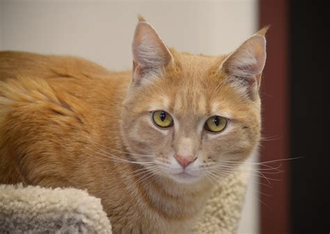 cat for adults no fee adoptions for all cats december 24 31 2016