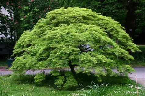 maple tree fertilizer japanese maples specimen trees sun tolerance mulch pruning watering fertilizing